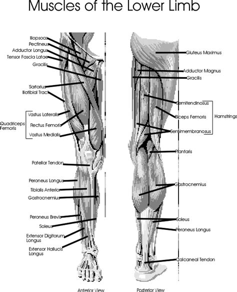 leg muscles diagram diseases and cure july 2012