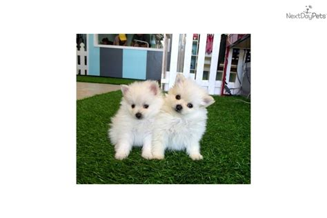 teacup pomeranian puppies california teacup puppy for sale in riverside breeds picture