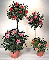 Patio Bushes Hibiscus Tree How To Grow And Care For A Hibiscus Plant