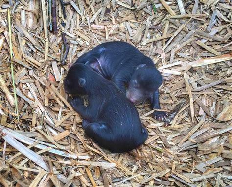 north carolina farmer uncovers newborn black bear nest