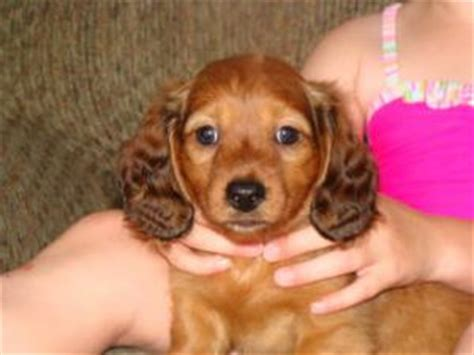 dachshund puppies for sale in ky dachshund puppies in kentucky