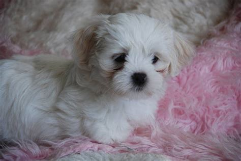 morkie poo puppies for sale morkie rescue photograph adorable morkie poo puppies for