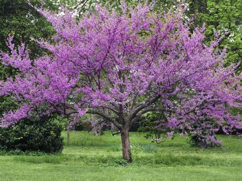 top forest pansy redbud tree care wallpapers