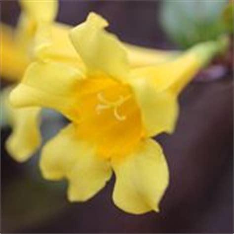 fiori di san giuseppe gelsomino giallo jasminum nudiflorum piante da