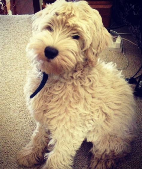 labradoodle puppies for sale mn australian labradoodles labradoodle puppies for sale australian breeds picture