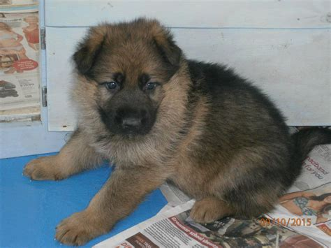 shepherd puppies for sale german shepherd puppies for sale march cambridgeshire pets4homes