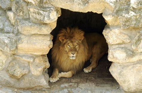 lions home think you where lions live let s explore their habitat