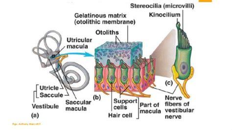 sistema vestibular anatom 237 a y fisiolog 237 a sistema vestibular perif 233