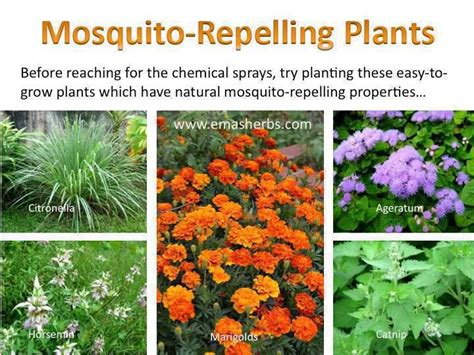 mosquito repelling plants useful information pinterest