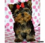 yorkie teddy haircut 1000 images about yorkie haircuts on pinterest yorkie yorkie puppy and teddy bears