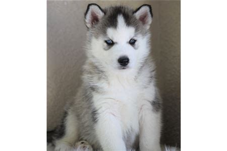 puppies available for adoption near me pictures free dogs for adoption interior reference decorating and exterior ideas