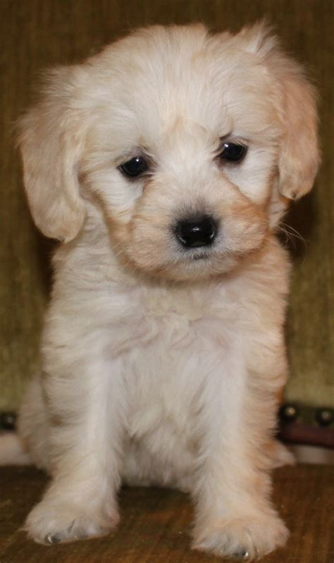 of a mini goldendoodle pin mini goldendoodles for sale in on