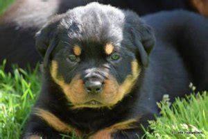 rottweiler puppies ta rottweiler sale singapore rottweiler puppies buy buy rottweiler breeders rottweiler