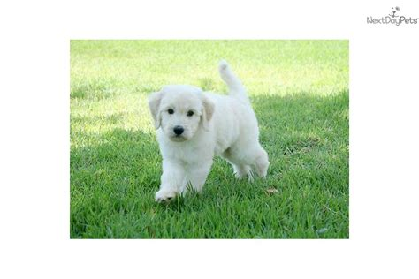 goldendoodle puppy orlando goldendoodle for sale for 2 000 near orlando florida