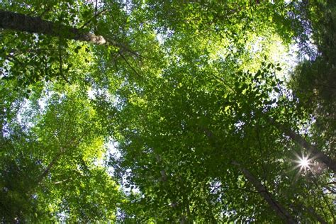 The Canopy Tree Canopy