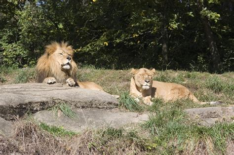 Pittsburgh Zoo Gift Card - a pair of lions in the pittsburgh zoo photograph by stacy gold