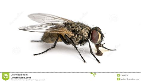 House Plans European side view of a dirty common housefly eating musca