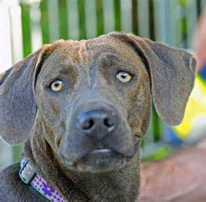 blue lacy puppies blue lacy blue lacy cats dogs and the o jays