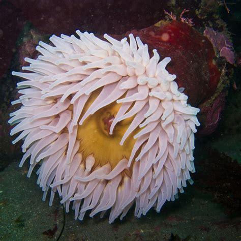anemone eating bird genus urticina 183 inaturalist org