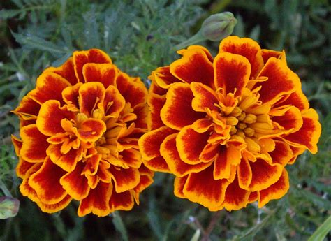 marigold flowers wallpapers flowers