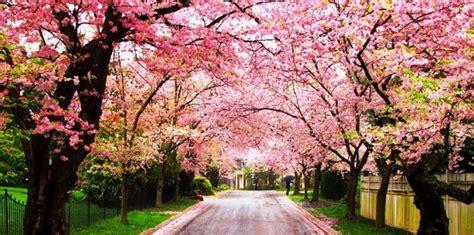 wallpaper bunga sakura di jepang 24 gambar bunga sakura jepang tercantik terindah gambar