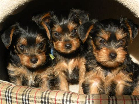 yorkie poodle lifespan 17 best images about possible pets on yorkie