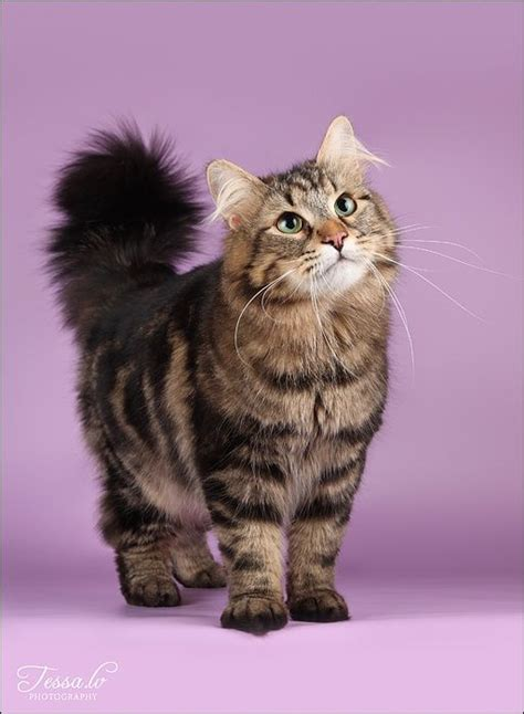 25 best ideas about maine coon kittens on pinterest