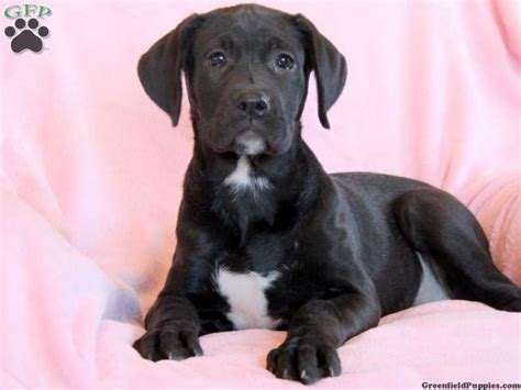 boxador puppies for sale 25 best ideas about boxador puppies for sale on boxers for sale boxer