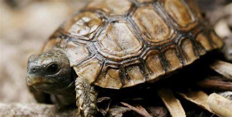 lade per tartarughe di terra carapace e piastrone la funzione guscio della