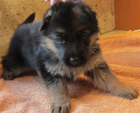 german shepherd puppies ny german shepherd puppies for sale in ny gale i dinces