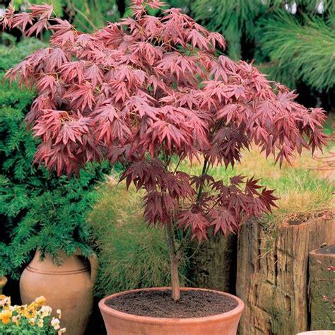 acero in vaso acero giapponese prezzo piante da giardino prezzo dell