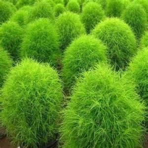 200 kochia burning bush seeds under the sun seeds
