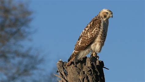 type of hawks in tn from the tennessee plateau here is a hawk identification guide