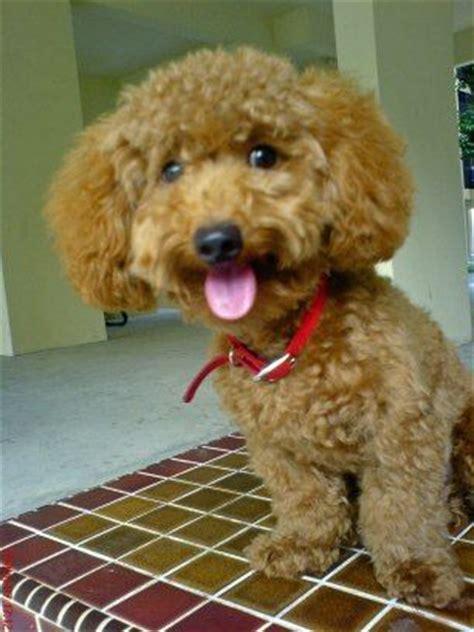 poodle puppy cut poodle puppy cut poodle cuts