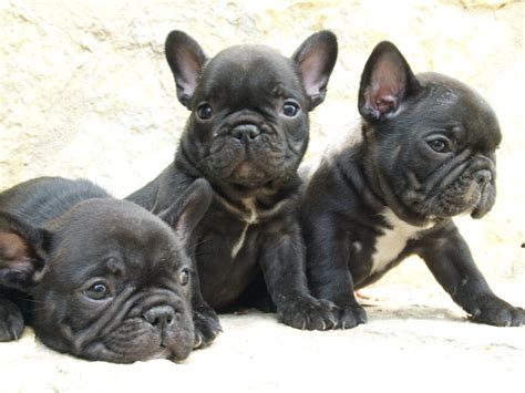 bull frances bulldog franc 233 s fotos tu amigo el perro