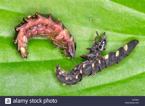 the glow worm and other beetles classic reprint books beetle pupae stock photos beetle pupae stock images alamy