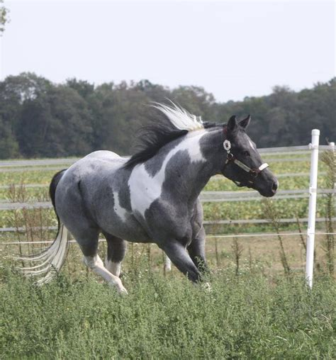 25 best ideas about american paint on pretty horses horses and american paint