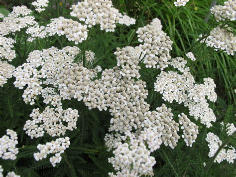 yarrow blue essential aroma 50ml yarrow essential uses and benefits