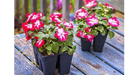 Pupuk Untuk Bunga Begonia 7 tanaman ini dapat tumbuh tanpa sinar matahari news