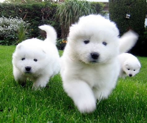 samoyed husky puppies samoyed husky puppies animals