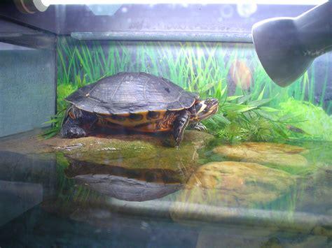 schildkröte zuhause halten rotwangenschildkr 246 te mit aquarium schildkr 246 ten