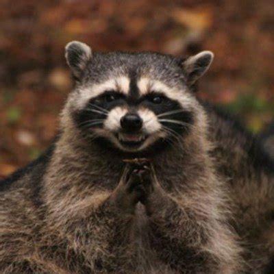 Meme Generator Raccoon - evil raccoon meme generator