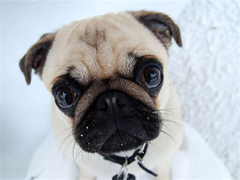 pug images in hd pug puppies wallpaper white 34 background hivewallpaper