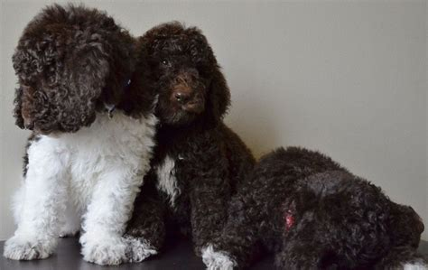 brown goldendoodle puppies 25 best ideas about chocolate goldendoodle on chocolate labradoodle