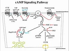 cAMP | Pancreapedia G Protein Coupled Receptors Adenylyl Cyclase
