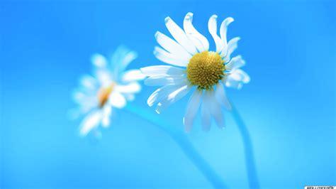 win with flower weisse blumen hintergrundbild 1920x1080 hd kostenlose