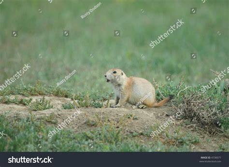 high pitch sound for dogs small blacktailed prairie sounds alarm stock photo 4730077