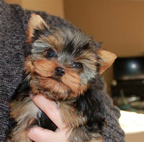 potty a teacup yorkie tiny teacup yorkie quot twinkle quot major teddy 15 wks iheartteacups