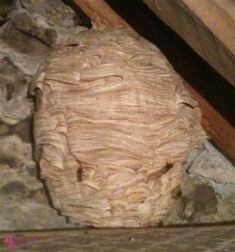 nid de frelons sous les tuiles frelon nid maison trendy nid de guepes dans le sol la