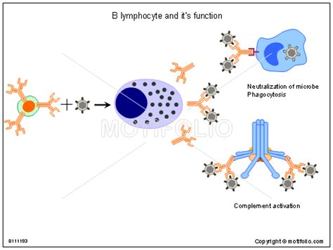 diagram of lymphocytes b lymphocytes b cells bursa dependent lymphocytes